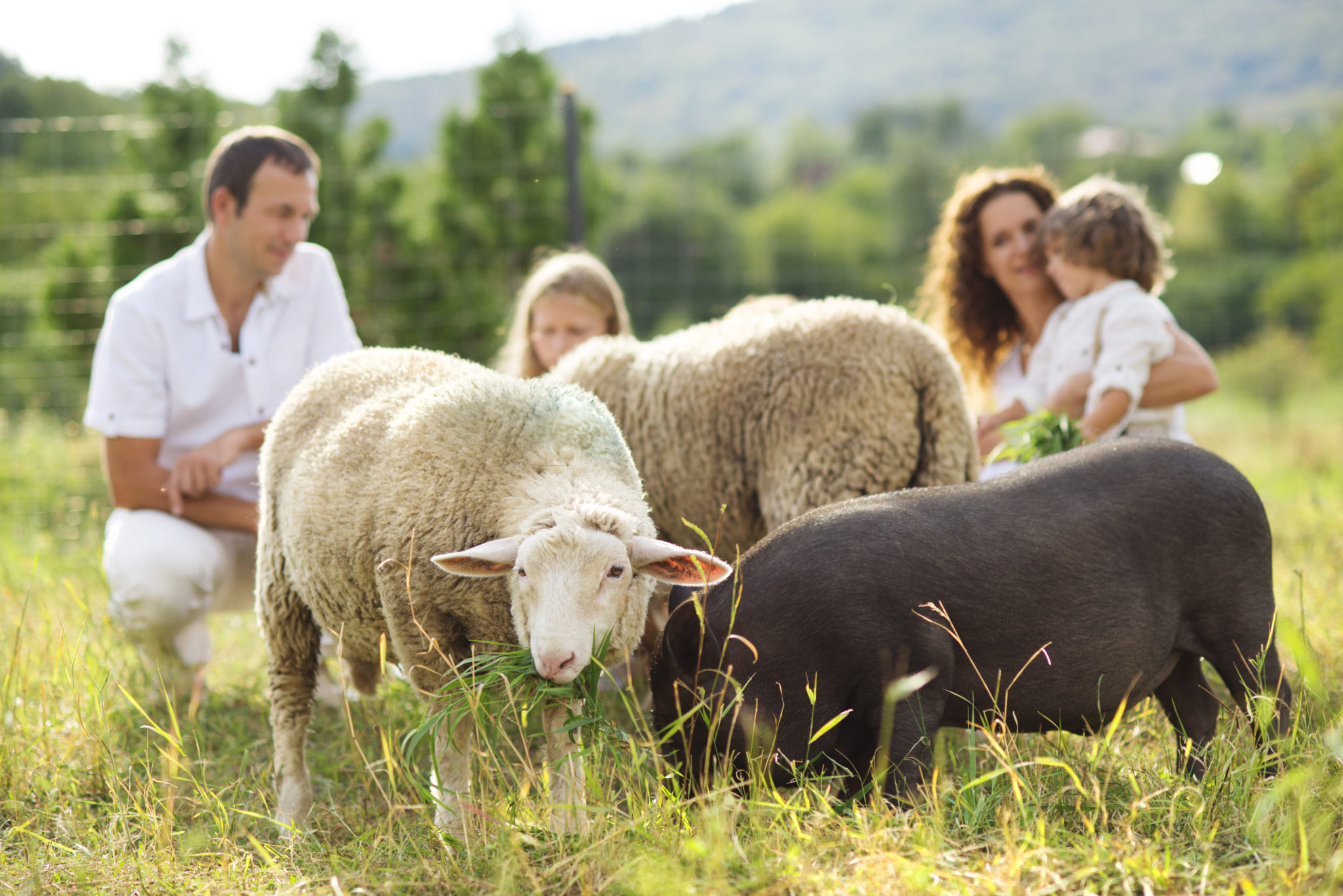 Family feeding sheep on the farm